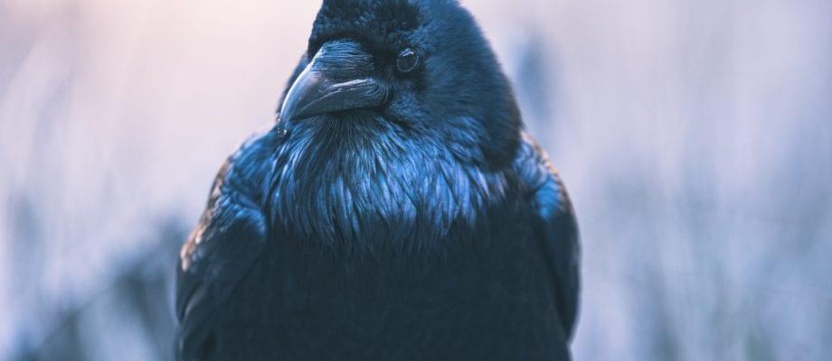 Sacred Signs: Raven Medicine